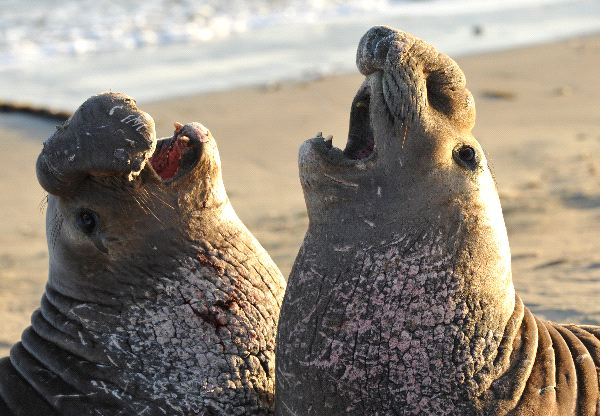 Close Up Of Two Male Elephant Seals Fighting