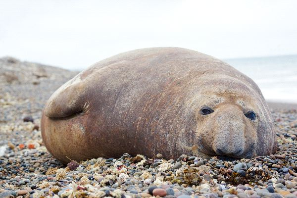 Elephant Seal on the Beach