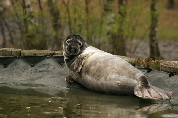 Gray Seal Halichoerus grypus