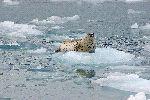 Harbor Seal on Alaska Ice