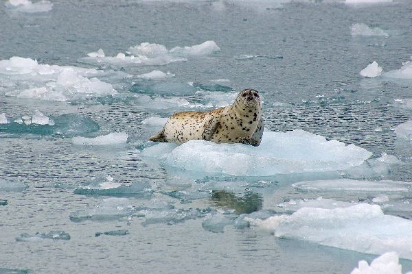 Harbor Seal on Alaska Ice