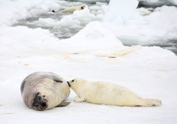 Harp Seal Cow And Pup On Ice