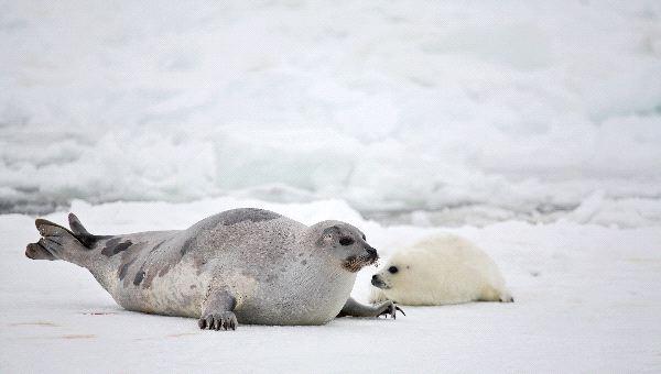 Harp Seal Motherand Newborn Pup
