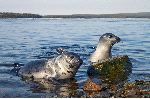Harp Seal Pagophilus groenlandicus