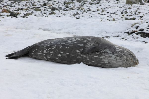 Leopard Seal Seen From A Dinghy