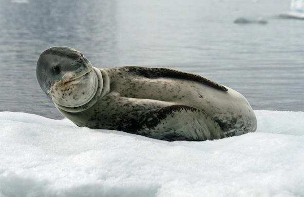 Información sobre el leopardo marino.
