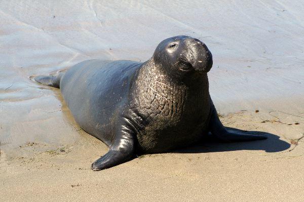 Male Southern Elephant Seal - Mirounga Leonina