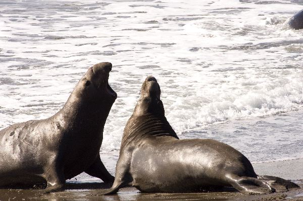 Northern Elephant Seals In California