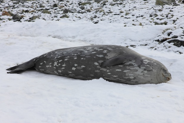 Interesting facts about Weddell seal