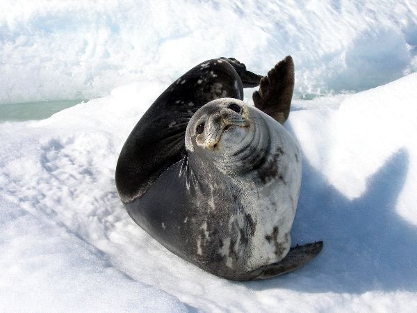 Weddell Seal Watching the Camera