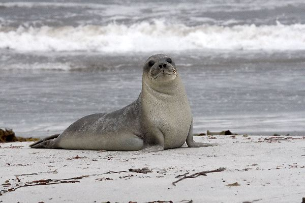 Young Southern Elephant Seal - Mirounga Leonina