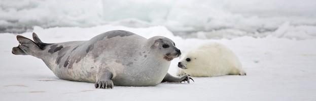 Seal Species