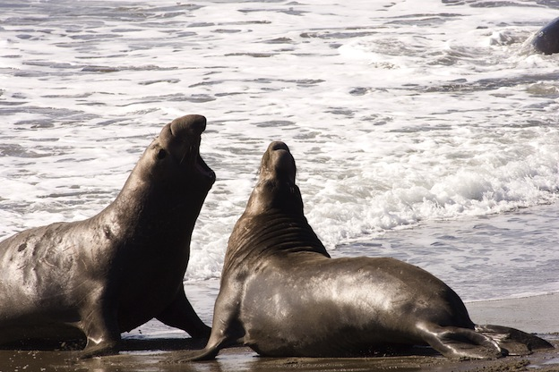Facts about Northern Elephant Seal.