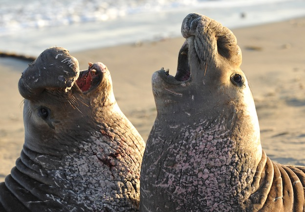 Seal social behavior