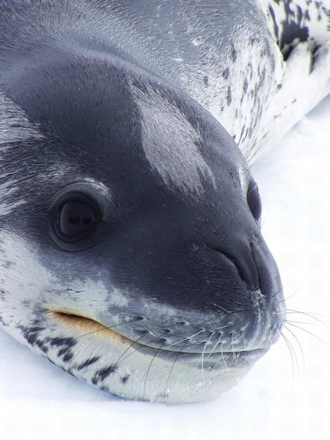 Descripción de la foca leopardo.