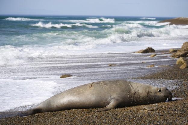 Información sobre la foca Mirounga leonina.