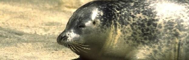 Seals Endangered