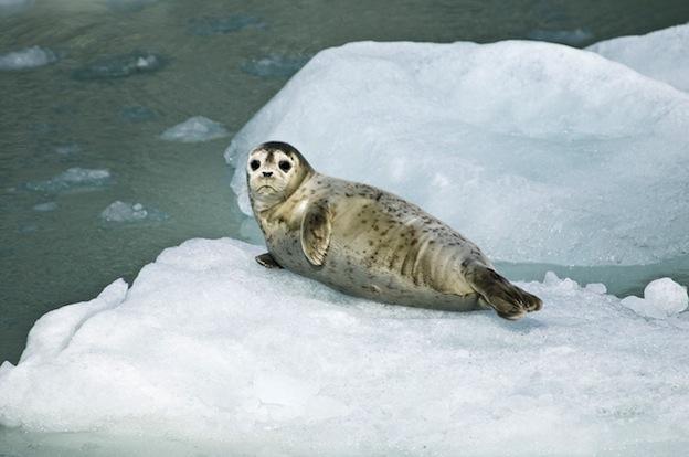 Información sobre la foca común.