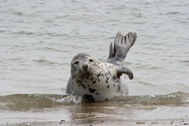 Información sobre la foca pía.
