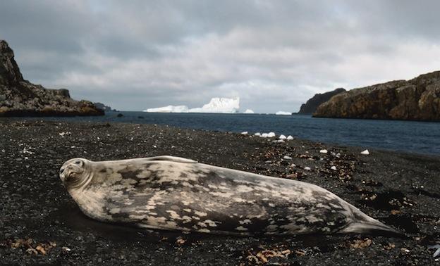Características de la foca de Weddell