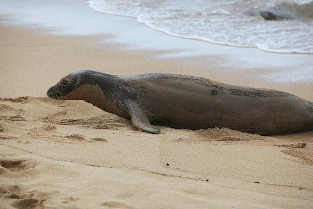 Características de la foca monje de Hawái