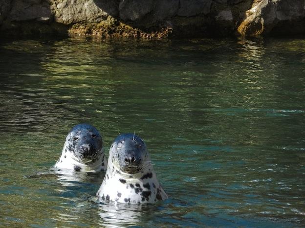 Descripción de la foca gris.