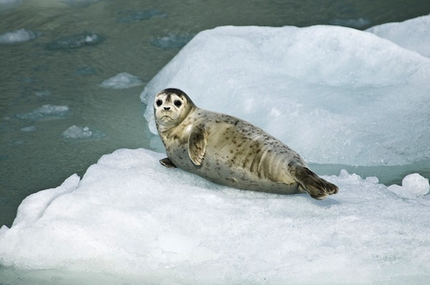 Facts about Harbor Seal or common seal.