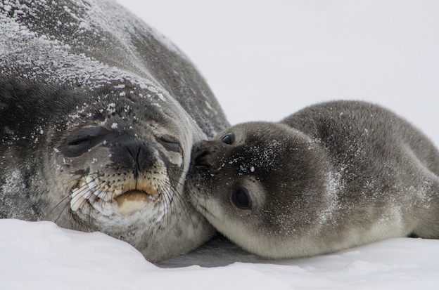 Comportamiento social de las focas.
